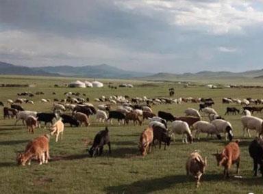 首批4000只蒙古国捐赠羊入境