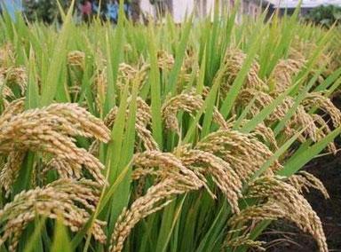 农业农村部:粮食丰收已成定局