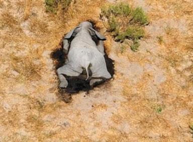 超350头大象在博茨瓦纳神秘死亡