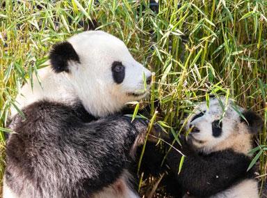 """柏林大熊猫双胞胎""""长势喜人"""""""