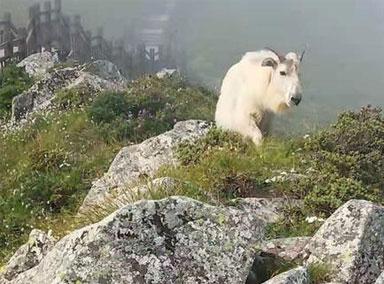 太白山景区发现国家一级保护动物羚牛